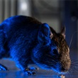 Rat Prevention and Control - Thumbnail