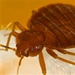 Bed Bugs - Thumbnail
